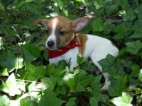 Fantastic little family members pet. Rat Terriers like