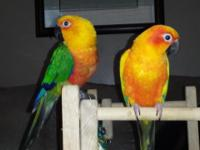 1 Sunlight conure 6 years aged Male and 1 jenday conure