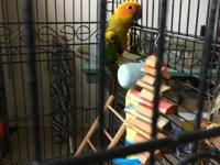 Sun conure male, perfect for breeding. Can be tamed if