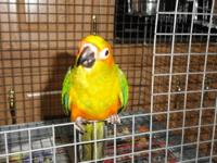 Davis Aviary has one just weaned special Sun Conure