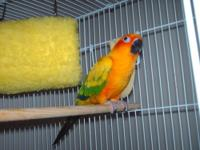 Selling beautiful 2 year old Sun Conure, very tame and