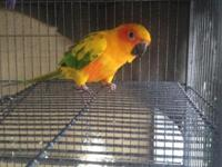 I'm selling my 1yr aged Sunlight Conure I work a visit