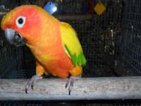 Beautiful, friendly, loving, playful Sun Conure. We