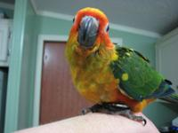 I have 2 DNA 'd male sun conure infants simply weaned