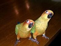 Have 2 Sun Conure Babies, left. Almost ready to go.