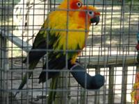 Precious sun conure babies, just weaned, super sweet