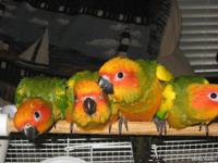 Beautiful Sun Conure babies for sale. They are hand fed