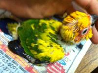 Sun Conure high Yellow baby on 3 feedings a day. They