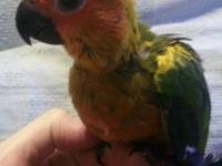 SUN CONURE BABY ~ GETTING READY TO WEAN ONTO PARROT