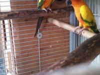 Reducing inventory!!!! Two Sun Conure Breeder pairs.