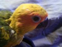 SUN CONURE, HAND RAISED BABY, ALMOST READY TO WEAN ONTO