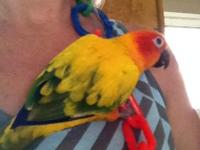 Phoenix is a DNA male sun conure, 3 years old. He LOVES