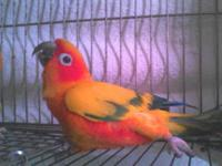 I currently have a pair of pretty Sun Conures. I am not