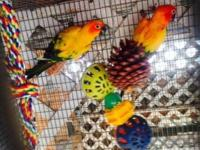 UPGRADED! Offering out of all our sun conures. 4 Young