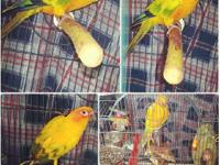 Selling A Sun Conure Asking For 450$ or a better