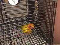 Sun Conure with cage- 4 years old. Once he gets to know