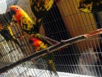 2 Sun Conure Baby $275. Ready and tame for the best