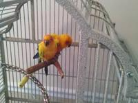 Beautiful and healthy sun conure proven pair. Very