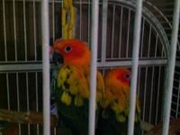 Looking to rehome my sun conures. (Everything