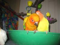 i have a female older sunconure... she hangs with a