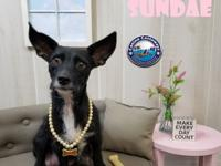 NAME:  Sundae BREED:  Scottie/Dachshund mix SEX: