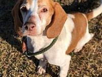 Sunday's story Sunday is a male beagle mix and