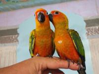 We have 2 Babies Sunday Conure born 05/03/2015 and