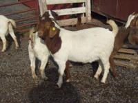Description We have a large selection of boer goats for