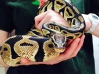 Sunshine is an adult Ball Python with beautiful