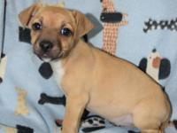 Sunshine is an 8 week old Chi possible Dachshund mix