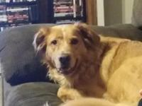 Three year old female Golden Retriever/Border Collie