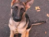 Malone is an exceptional 4mo German Shepherd puppy.