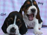 Super Adorable Basset Hound Puppies! These gorgeous,