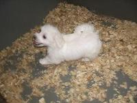 Animal Type: Dogs Super adorable Maltese Puppies. So