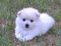 Super adorable pomeranian puppies. So gentle and