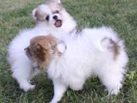 These adorable pomeranian puppies are ready to join