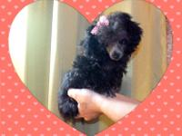 We have a wonderful Tiny Toy size baby girl poodle pup.