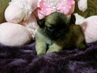 Super adorable teacup Shihtzu/Longhair Chihuahua young