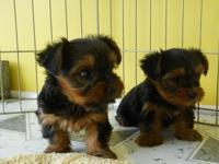 Super adorable Teacup Yorkie Puppies. So gentle and