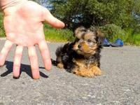 Super adorable Yorkie Puppies. So gentle and