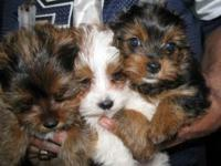 Teacup Yorkie For Sale In Atlanta Georgia Classifieds Buy And
