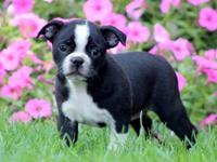This adorable Boston Terrier puppy is family raised in