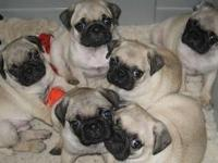 hi, we have this well trained pug puppies 2 males and a