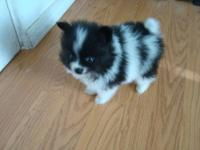 ? Purebred Pomeranian Puppies: 1Male black/white (1st