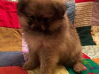 We have three Pomeranian puppies ready to find their