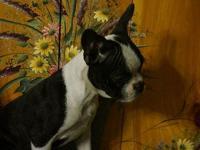 This a super cute female Boston Terrier puppy. She was