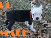These are two super cute Boston Terrier Puppies - one