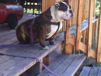 I have an incredibly adorable female English Bulldog:)