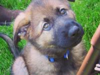 I have a super cute AKC registered SABLE male German