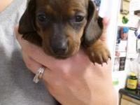 I have three super cute mini dachshund puppies for